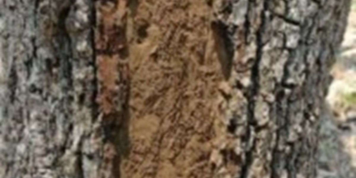 Hypoxylon Canker In Shade Trees Arborilogical