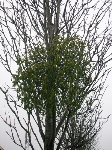 Mistletoe Arborilogical