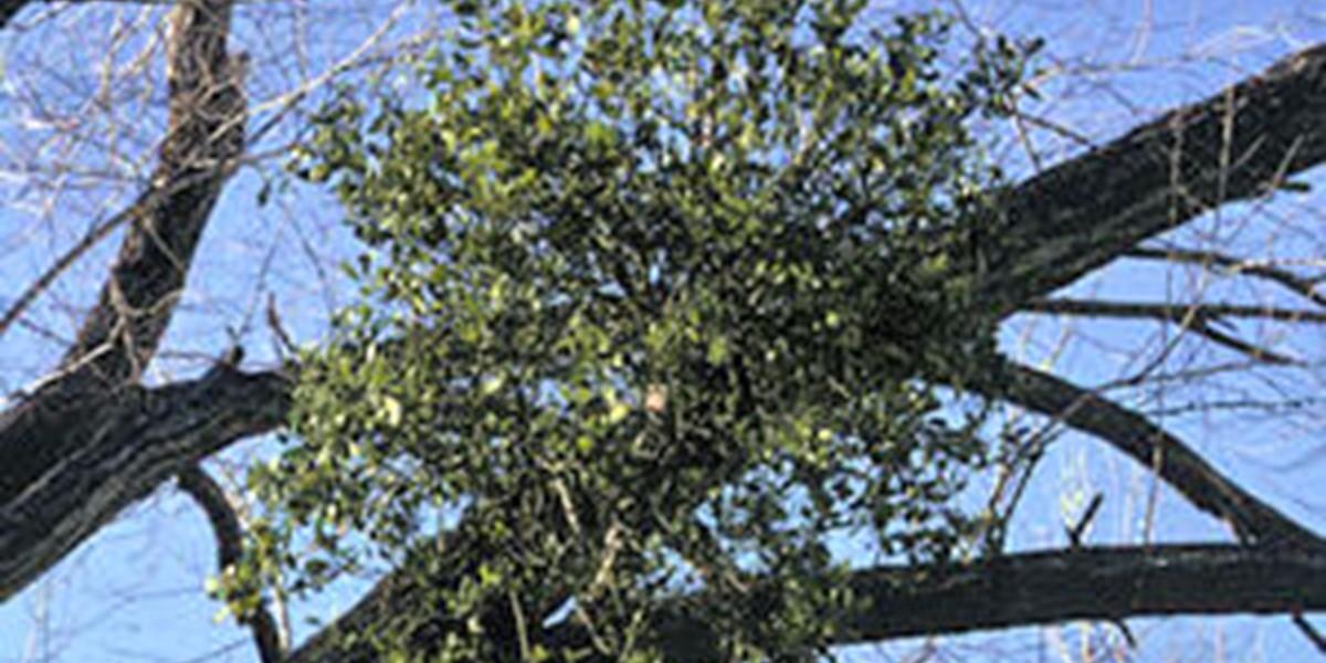 Will Mistletoe Kill My Trees Arborilogical