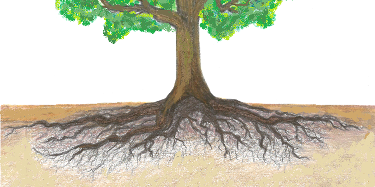 Ilration Of A Tree S Root Structure Showing The Bulk Roots Are In