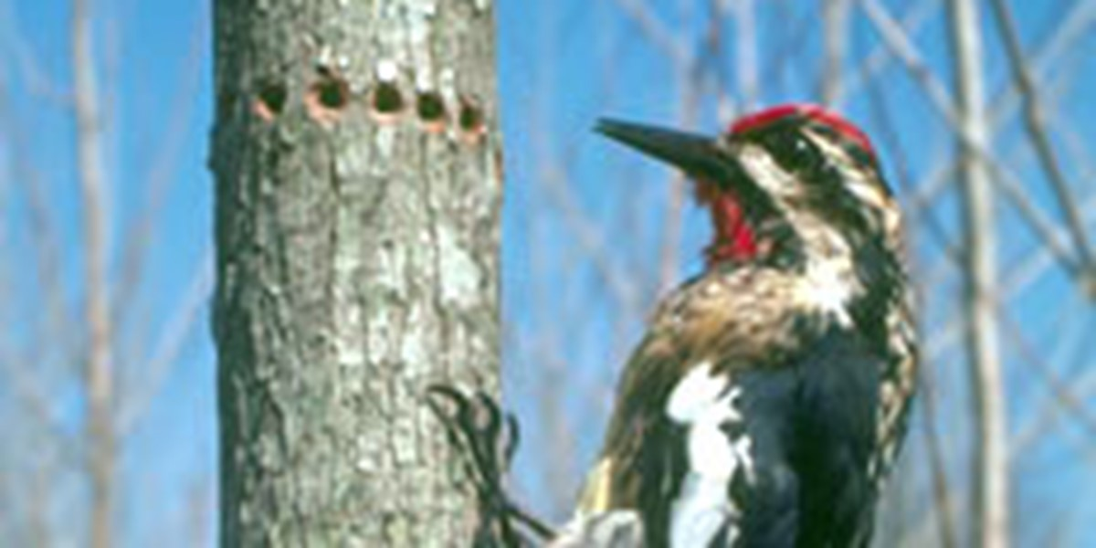 A Woodpecker Drills Holes On Small Tree Trunk So That He Can Come Back Later